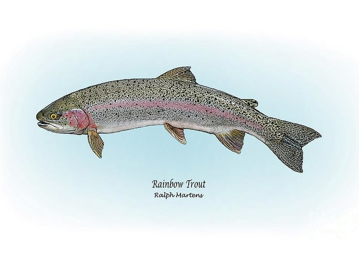 Rainbow Trout Greeting Card featuring the painting Rainbow Trout by Ralph Martens