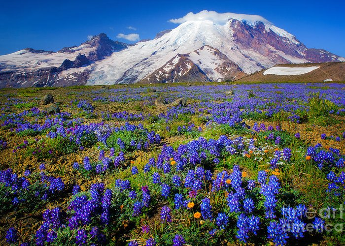 America Greeting Card featuring the photograph Rainier Lupines by Inge Johnsson