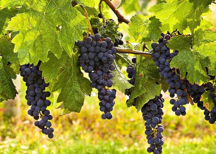Grapes Greeting Card featuring the photograph Ready For Harvest by Marion McCristall