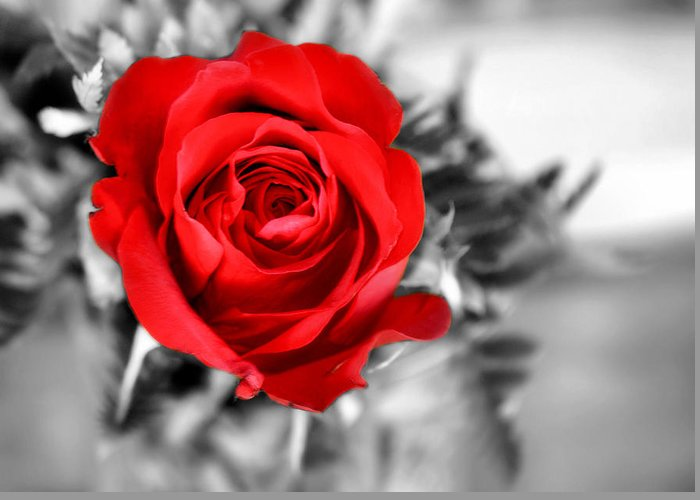 Red Greeting Card featuring the photograph Red Rose by Karen M Scovill