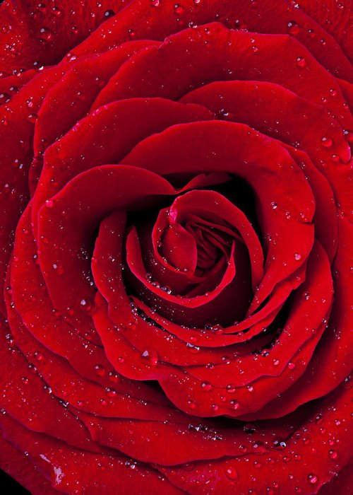 Red Greeting Card featuring the photograph Red Rose With Dew by Garry Gay