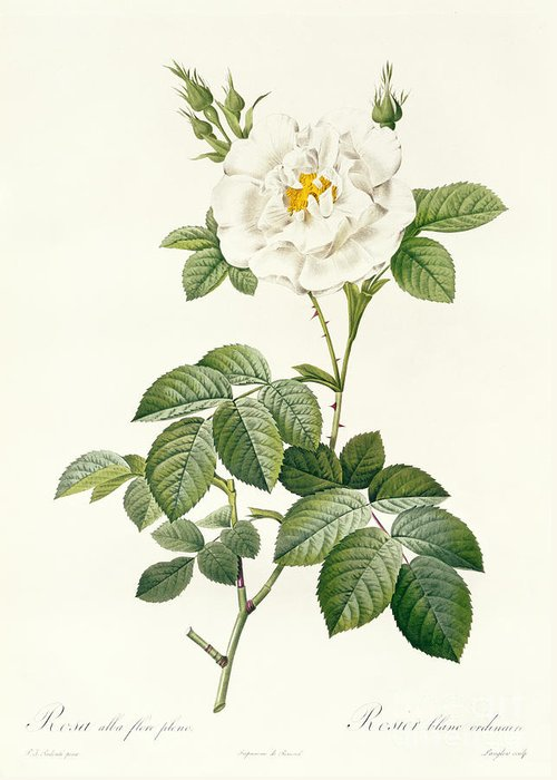 Rosa Greeting Card featuring the drawing Rosa Alba Flore Pleno by Pierre Joseph Redoute
