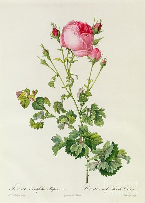 Rosa Greeting Card featuring the painting Rosa Centifolia Bipinnata by Pierre Joseph Redoute