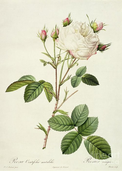 Rosa Greeting Card featuring the drawing Rosa Centifolia Mutabilis by Pierre Joseph Redoute
