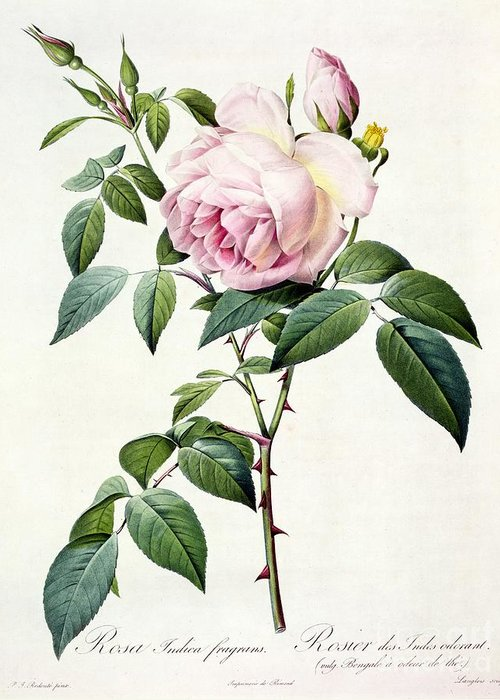 Rosa Greeting Card featuring the drawing Rosa Indica Fragrans by Pierre Joseph Redoute