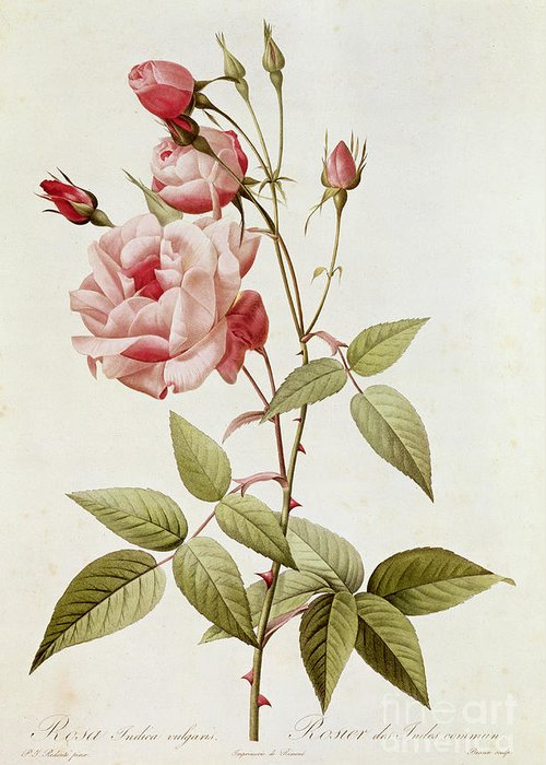Rosa Greeting Card featuring the painting Rosa Indica Vulgaris by Pierre Joseph Redoute