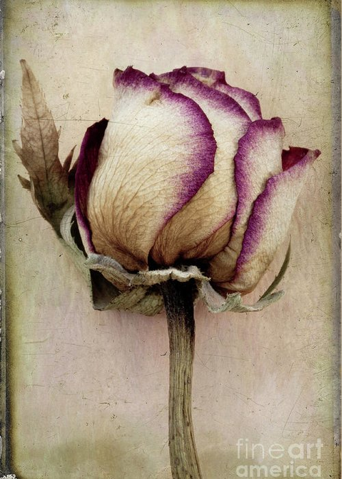 Rose Greeting Card featuring the photograph Rose 2 by Marion Galt