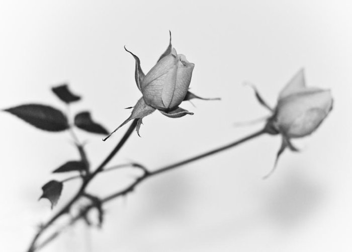 (c) 2010 Greeting Card featuring the photograph Rose Duo by Ryan Kelly