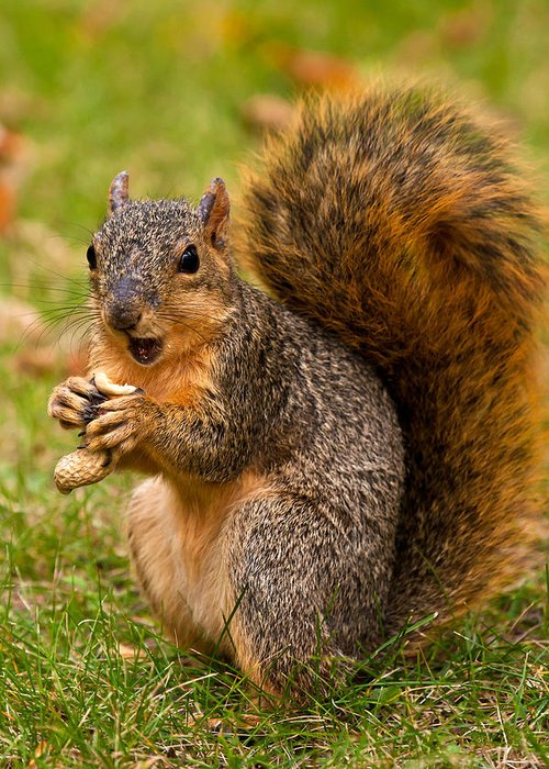 Fox Squirrel Greeting Card featuring the photograph Rough Around The Edges by James Marvin Phelps