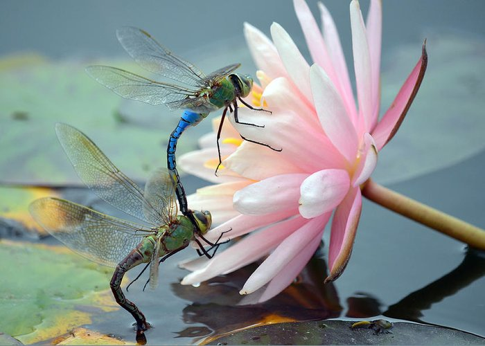 Green Darner Dragonflies Greeting Card featuring the photograph Safe Place To Land by Fraida Gutovich