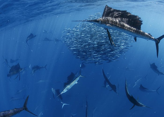 Underwater Greeting Card featuring the photograph Sailfish Drive Their Prey by Paul Nicklen