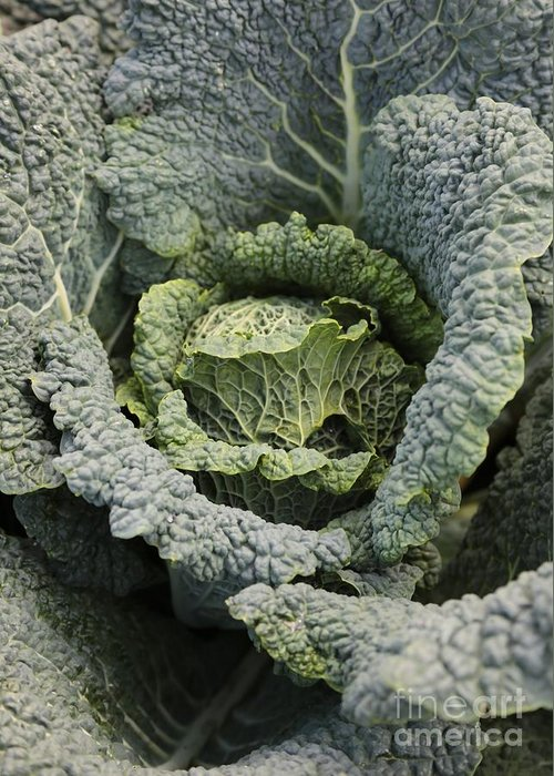 Savoy Cabbage Greeting Card featuring the photograph Savoy Cabbage In The Vegetable Garden by Carol Groenen