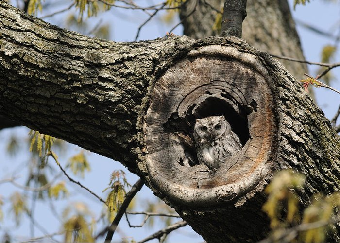 Day Greeting Card featuring the photograph Screech Owl In A Tree Hollow by Darlyne A. Murawski