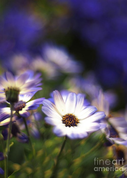 Flowers Greeting Card featuring the photograph Senetti Dreams by Dorothy Lee