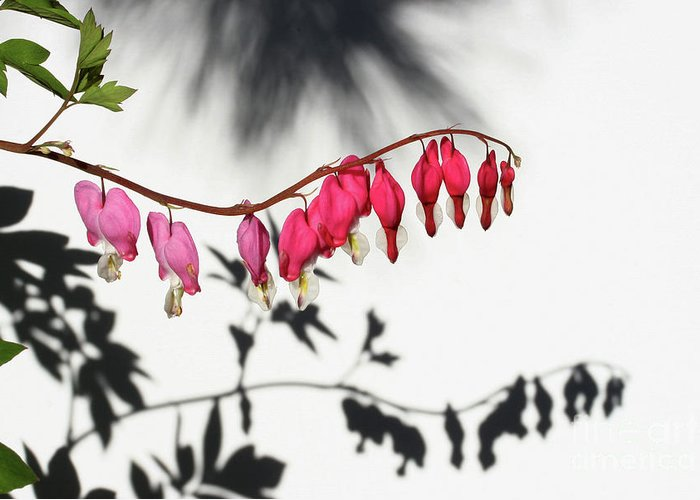 Bleeding Hearts Greeting Card featuring the photograph Shadow Hearts by Steve Augustin
