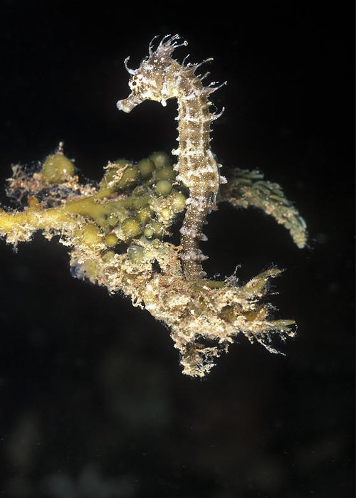 Sea Life Greeting Card featuring the photograph Short-headed Seahorse Juevinile by James Forte