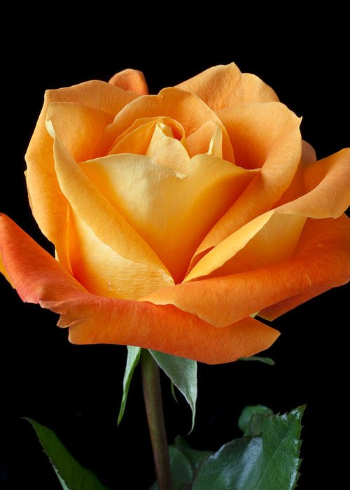 Single Greeting Card featuring the photograph Single Orange Rose by Garry Gay