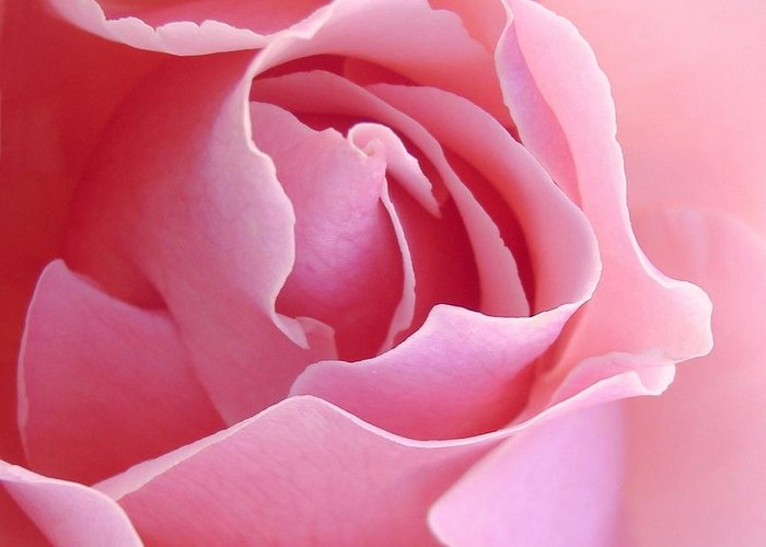 Rose Greeting Card featuring the photograph Sugar Of Rose by Jacqueline Migell