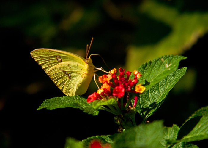 Arkansas Greeting Card featuring the photograph Sulpher Butterfly On Lantana by Douglas Barnett