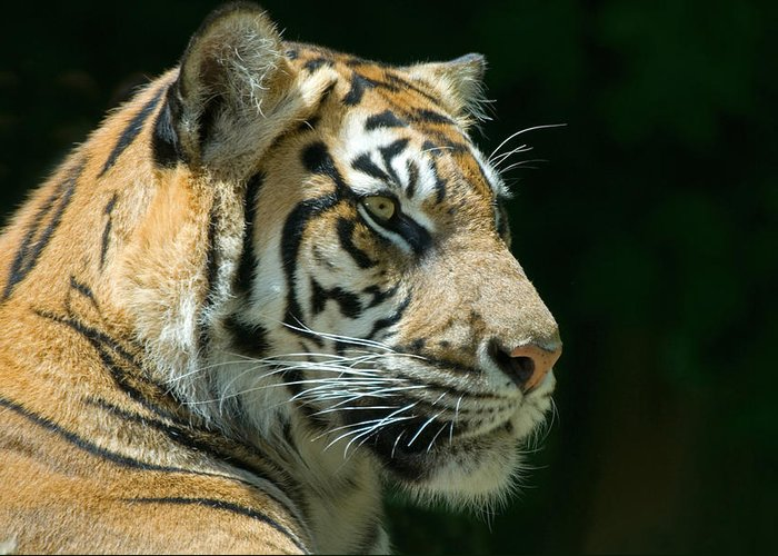 Animal Greeting Card featuring the photograph Sumatran Tiger by Mary Lane