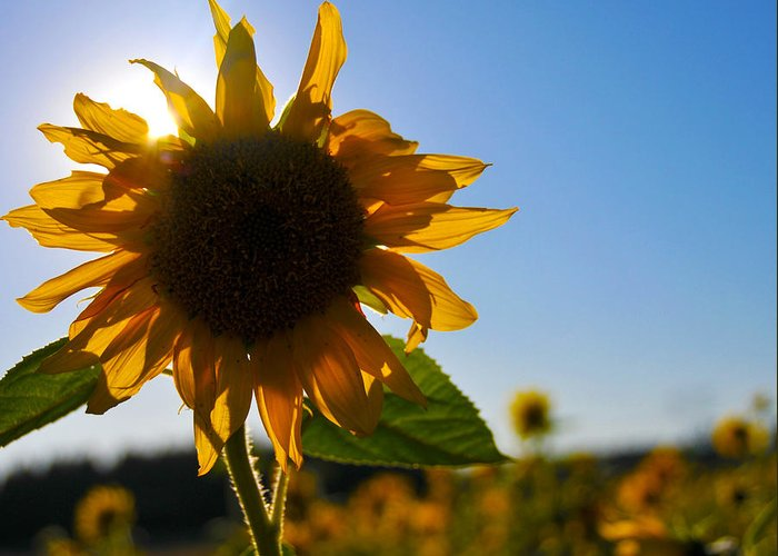 Sunflower Greeting Card featuring the photograph Sun And Sunflower by Brian Bonham