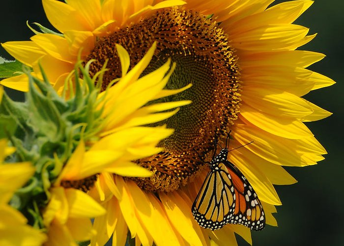 Sunflower Greeting Card featuring the photograph Sunflower And Monarch 3 by Edward Sobuta