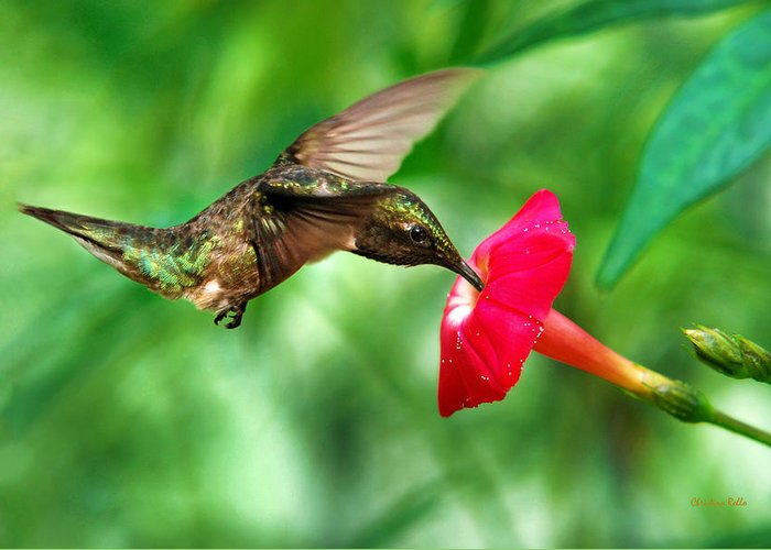 Hummingbird Greeting Card featuring the photograph Sweet Satisfaction by Christina Rollo