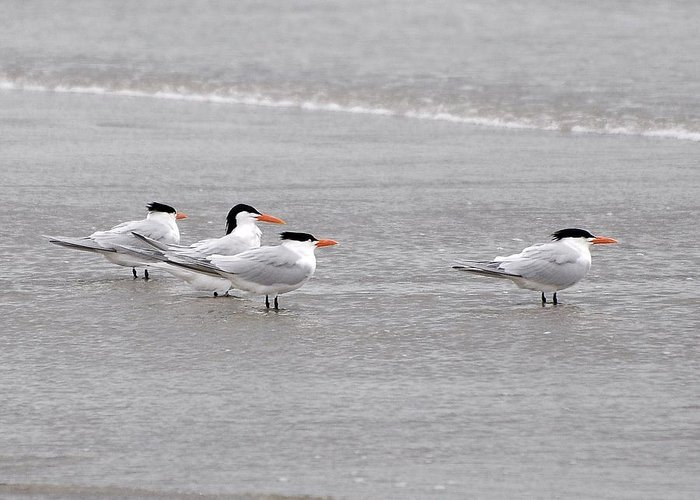 Tern Greeting Card featuring the photograph Terns Wading by Al Powell Photography USA