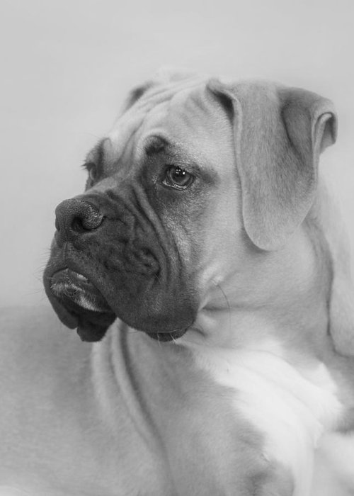 Boxer Dog Greeting Card featuring the photograph The Boxer Dog - The Gentleman Amongst Dogs by Christine Till