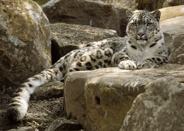 Snow Leopard Greeting Card featuring the photograph The Watchful Stare Of A Snow Leopard by Jason Edwards