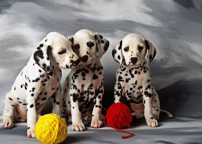 Dalmatian Puppies Three Puppy Dalmatians Pet Pets Animal Animals Dog Dogs Doggy Sit Sits Sitting Young Pedigree Canine Domestic Domesticated Purebred Purebreed Breed Gray Background Vertical Color Colour Colors Canines Calm Cute Hound Hounds Innocence Spot Spots Companionship Together Togetherness Greeting Card featuring the photograph Three Dalmatian Puppies by Garry Gay