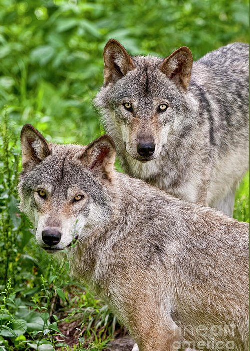 Michael Cummings Greeting Card featuring the photograph Timber Wolf Pair by Michael Cummings