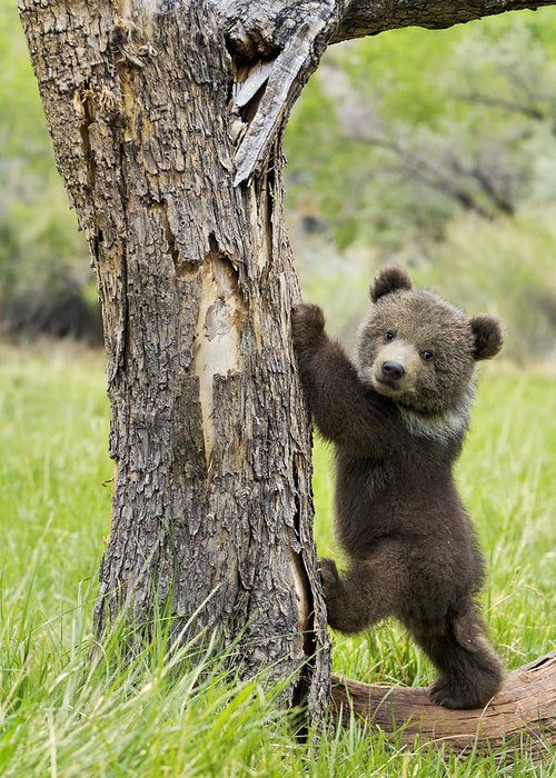 Grizzly Bear Greeting Card featuring the photograph Too Cute For Words by Melody Watson