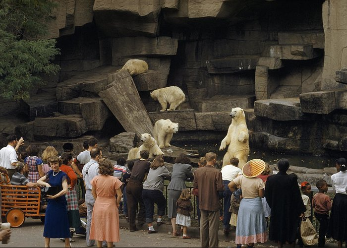 Color Image Greeting Card featuring the photograph Tourists Watch Captive Polar Bears by B. Anthony Stewart
