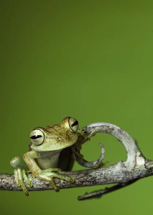 Frog Greeting Card featuring the photograph Tree Frog by Dirk Ercken