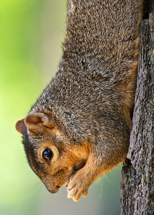 Fox Squirrel Greeting Card featuring the photograph Tree Hugger by James Marvin Phelps