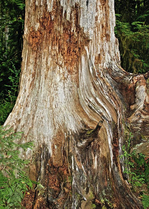 Red Cedar Tree Greeting Card featuring the photograph Trees On The Trails - Olympic National Park Wa by Christine Till