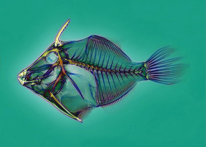 Triggerfish Greeting Card featuring the photograph Triggerfish Skeleton, X-ray by D. Roberts