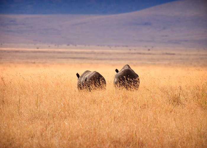 3scape Photos Greeting Card featuring the photograph Two Rhino's by Adam Romanowicz