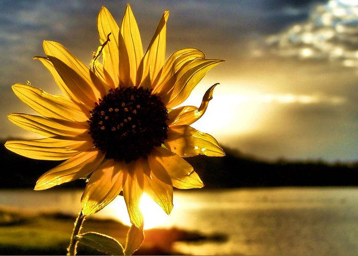 Sunflower Greeting Card featuring the photograph Up Lit by Karen M Scovill