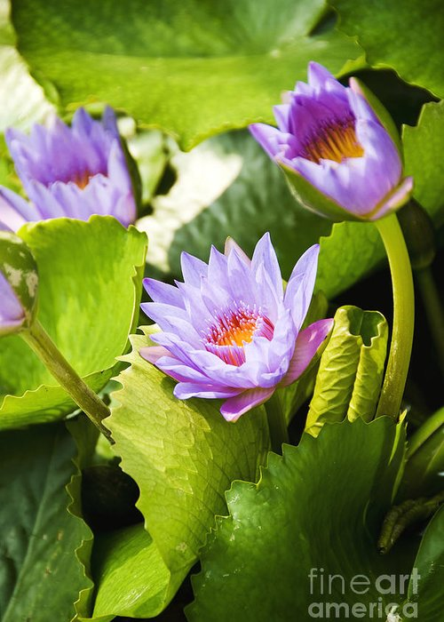 Afternoon Greeting Card featuring the photograph Water Lilies by Ray Laskowitz - Printscapes
