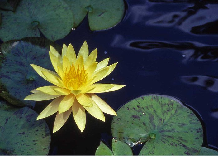 Lilly Greeting Card featuring the photograph Water Lilly - 1 by Randy Muir