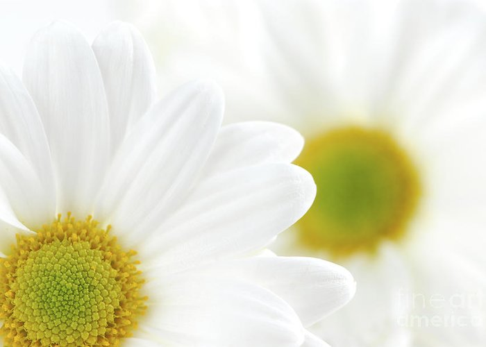 Daisy Greeting Card featuring the photograph White Daisies by Elena Elisseeva