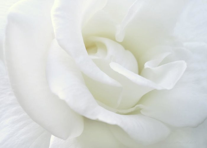 Rose Greeting Card featuring the photograph White Rose Angel Wings by Jennie Marie Schell