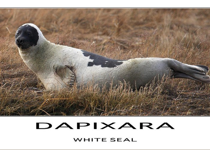 Seal Greeting Card featuring the photograph White Seal by Dapixara Art