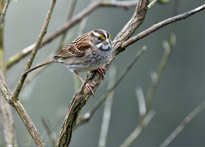 White Throated Sparrow Greeting Card featuring the photograph White Throated A Sparrow by Laura Mountainspring