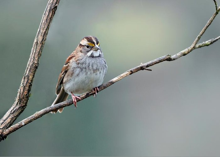 White Throated Sparrow Greeting Card featuring the photograph White Throated Sparrow by Laura Mountainspring