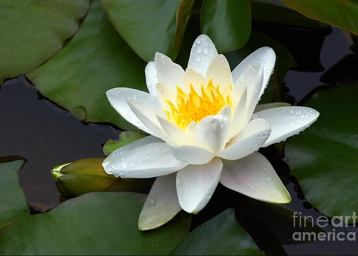 Water Greeting Card featuring the photograph White Water Lily And Bud by Susan Isakson