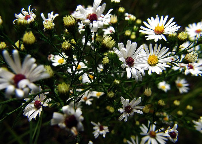 Hovind Greeting Card featuring the photograph White Wild Aster by Scott Hovind