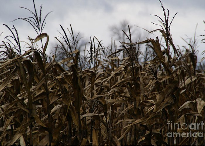 Corn Greeting Card featuring the photograph Wind Blown by Linda Knorr Shafer